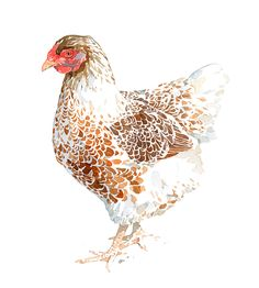 Chicken watercolor painting, brown and white hen print | david scheirer watercolors