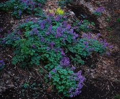 Corydalis solida  A great little hardy bulb for naturalizing