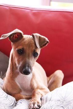 Mr Emile Maria the Italian Greyhound   (Instagram: @ mr.emile.maria)