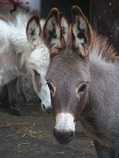 ESEL - ABC: Antes de comprar burro (ver Kauftips ), debe informar sólo sobre la actitud culo, mantenimiento, suministro y características especiales. Courtesy: RoverStar Eselfarm, Scheeßel (Deutschland).