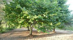 Nocciolo-albero