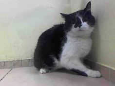 TO BE DESTROYED 9/12/14 ** SENIOR ALERT! At the time of the assessment Meimei was displaying good behavior. Became a little tense when I was approaching but by using soft voices she relaxed and allows petting, attention and was easy to handle ** Brooklyn Center My name is MEIMEI. My Animal ID # is A1011651. I am a spayed female black and white domestic sh mix. The shelter thinks I am about 12 YEARS old. OWNER SUR on 08/23/2014 from NY 11228, ALLERGIES.