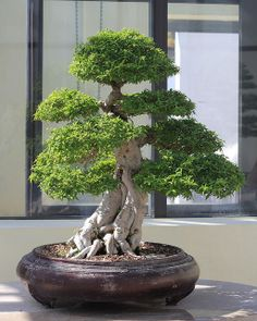 Pretty Bonsai Trees Ideas For Indoor Garden. Flowering bonsai trees can be a very beautiful decoration for your home. These trees can produce fruits and flowers that are popular with many people. Trees like the apple tree have colorful flowers before g Bonsai Ficus, Bonsai Indoor, Flowering Bonsai Tree, Indoor Trees, Bonsai Plants, Bonsai Garden, Bonsai Trees, Juniper Bonsai, Mini Bonsai