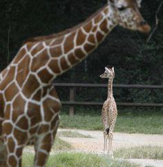 yet another girafe photobomb