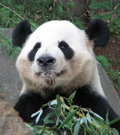 Milk Mustache Panda: What? Is there something on my face?