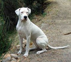 Dogo Argentino, Natural Ears