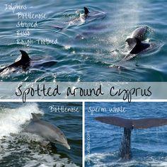 ★ Dolphin-watching around Cyprus ★ #dolphins #dolphincruise #dolphinwatching #bottlenose #marinemammals https://plus.google.com/+PissouribayCyp/posts/fz6TNigAnNE