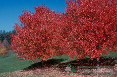 Acer Crimson Sunset   Клен красный Ред Сансет (Acer rubrum Red Sunset ...