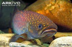 Giant Kokopu Newly listed as endangered New Zealand Wildlife, Life Under The Sea, Fishing Life, Fishing Trips, Cool Fish, Life Form, Beautiful Fish, Animal Welfare, Freshwater Fish