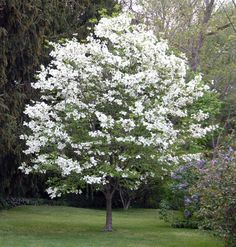 dogwood.. Love!! They will be in my backyard. A lot. Just like in Anne of green gables :)