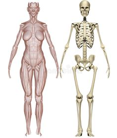 Muscles and skeleton woman stock illustration. Illustration of skull - 23731844 Female Skeleton, Women Skeleton, Skeleton Anatomy, Human Anatomy Drawing, Drawing Body Poses, Human Body Anatomy, Girl Anatomy, Anatomy Art, Skeleton Drawings