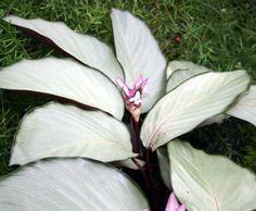 Calathea loeseneri J. F. Macbr. Pflanze für schattigen Standort. Mag absolut keine Sonne.