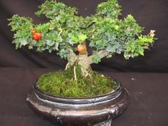 Holly with Berries Bonsai Plants, Bonsai Garden, Bonsai Trees, Conifer Trees, Deciduous Trees, Ficus, Growing Tree, Growing Flowers, Small Space Gardening