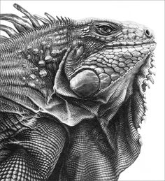 Green iguana drawn in graphite pencil while staying in Venezuela in 1992. I published it as a limited edition print in 1993... sold out. A few copies will be available at my next charity solo show at the Mall Galleries, London UK in April 2016.