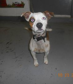 """---ELIZA---Terrier Mix Brown County Animal Shelter Georgetown, Ohio ~VW 2#3987 Terrier (mix) """"ELIZA"""" Female. Approx. 1 year old. 16.2 lbs.  Owner surrender, another chained skinny dog.  Date in: 10/23/2014  Brown County Animal Shelter 800 Mt.Orab Pike Suite 101  100 Veterans Boulevard,  Georgetown, Ohio 45121 (937) 378-3457 bcas@browncountyohio.gov"""
