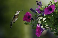 Hummingbird feeding off purple petunias Beautiful Bird Wallpaper, Purple Flowers Wallpaper, Beautiful Birds, Hd Flowers, Green Flowers, Hummingbird Wallpaper, Hummingbird Flowers, Hummingbird Pictures, Hummingbird Garden