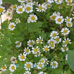 Chrysanthemen Richtig Pflegen, Schneiden Und überwintern | Jacky ... Pflege Von Chrysanthemen Zucht Andere Ideen