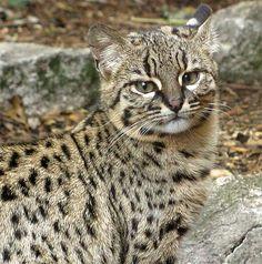 Geoffroy's Cat - Little Amazon Night Stalker -Dense rainforests, can be seen in grasslands & savannahs. Lowland Amazon, South America.