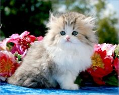 Chinchilla Golden and White Teacup Persian Kitten