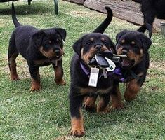 Keys for success! another one! Tag a future rottweiler parent below!