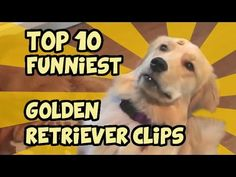 TOP 10 OF THE FUNNIEST GOLDEN RETRIEVER VIDEOS OF ALL TIME - YouTube