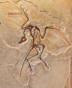 Archaeopteryx, from the Late Jurassic