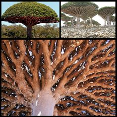 Dracaena cinnabari or Dragon Blood Tree.  This tree emits a blood red sap.  The dome tops and complex branch underbelly are breath taking.