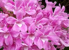 Trepadeira do tipo cipó, pertence à família Bignoniaceae, nativa do Brasil, perene, lenhosa vigorosa, podendo chegar a 11 metros de altura. Tronco de até 15 cm de diâmetro. Folhas com tres folíolos, coriáceos, densa e decídua (perde as folhas no inverno). Inflorescência com várias flores tubulares róseas. As flores formam-se em grande quantidade nas extremidades ...