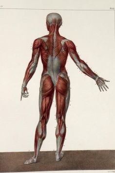 [Traité complet de l'anatomie de l'homme comprenant la médecine opératoire (pinterest.com/pin/287386019941966857/), par le docteur Jean-Baptiste Marc Bourgery (pinterest.com/pin/287386019948321810). Illustration by Nicolas Henri Jacob, 1831-1845].