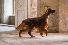 Just simply majestic and graceful Cute Dogs And Puppies, I Love Dogs, Doggies, Pet Dogs, Dog Cat, Rhodesian Ridgeback, Vizsla, Winter Wolves, Irish Setter Dogs