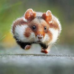 Rush Hour Hamster Photo by Julian Rad  Tag your best photos with #seewildlife and follows us to be featured!!  Follow all our profiles @see_earth Discover the world with beautiful pictures @see_wildlife Discover the wild world our animals pictures!  #wildernessculture #wildlife #travelonfire #nakedplanet#awesome_earthpix #warrenjc #animals #wild #wildlifeonearth #fantastic_earth#bpmag#wildatlanticway #wildernessbabes #wildernessquest #animal #animals #animalphotography#animalplanet…