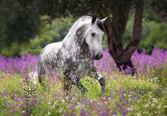 "Our trip to PORTUGAL was fantasic! Here is a photo I took of the Handsome dappled gray Lusitano DUQUE at QUINTA DA VARZEA. He is so expressive and playful Photo by ©StunningSteeds with ""Discover the Lusitano with Serenata"" Pretty Horses, Horse Love, Beautiful Horses, All About Animals, Animals And Pets, Cute Animals, Horse Photos, Horse Pictures, Spirit The Horse"