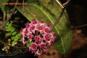 Hoya tomataensis