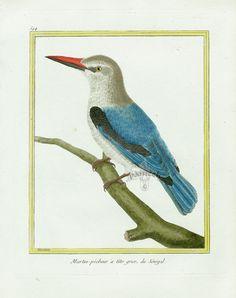 Martinet c1770's: Martin-pecheur a tete grise du Senegal. Woodland Kingfisher