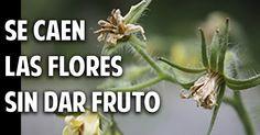 ¿Por qué se caen las flores del tomate? Y Soluciones