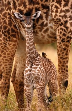 """It's a little baby giraffe""-- Maggie ""And its huge""-- Jennifer"
