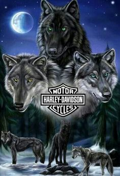 Amazing Ideas Can Change Your Life: Harley Davidson Street Glide Club Style harley davidson diy pictures.Harley Davidson V Rod Harley Davidson Kunst, Harley Davidson Quotes, Harley Davidson Wallpaper, Harley Davidson Motorcycles, Wolf Images, Wolf Pictures, Family Pictures, Anime Lobo, Pet Anime