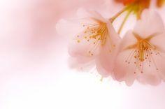 Sakura, Cherry Blossom. Transparent picture.