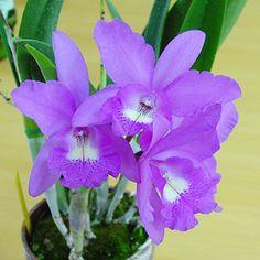 Orchid Plant BrassioCattleya Little Mermaid