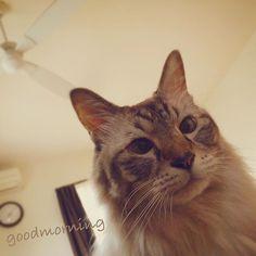 gm◡̈* ベッドでゴロゴロ〃寝返りしたらミルたん😆💦 いつからそこに?  ずっと愛の背中見てたのかなぁ⁇  笑愛の目線から撮ったpic( ´艸`)ムププ  最高の目覚めやん😂💕 可愛い過ぎるってぇ〜💘 #gm  #goodmorning  #おはよう  #日曜日  #朝  #neko  #cat  #instacat  #catstagram  #catlover  #モフモフ  #長毛 #猫  #ネコ  #愛猫  #起こしに来た?  #いつからそこに?  #最高の目覚め  #笑  #instalife  #instagood  #寝室  #目線カメラ  #激かわ  #きゃわきゃわ  #猫派  #猫好き  #love