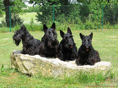 This Scottie family speaks for itself.   21 Reasons Scottish Terriers Are The Champions Of Our Heart