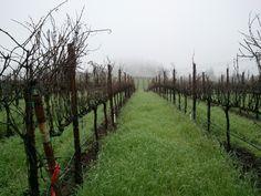 Vineyard in foggy Green Valley.