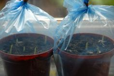 An illustrated step by step guide to growing canna from seed. Chipping, soaking ,planting, plus lots of pictures. Canna Lily Landscaping, Pool Landscaping, Canna Lily Garden, Cana Lillies, Cana Lily, Container Gardening, Gardening Tips, Garden Projects, Outdoor Projects