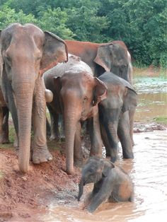 Family of elephants having a mud bath!! - wanna join in? Volunteer with GoEco in Thailand at the Elephant Rescue and Conservation program - For more information visit the project page http://www.goeco.org/project/378/Volunteer_in_Thailand_Elephant_Rescue_and_Conservation#