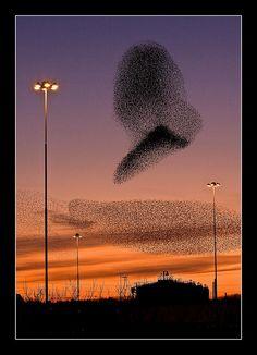 Murmuration of Starlings, Swindon, Wiltshire   Flickr - Photo Sharing!