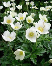 Anemone sylvestris. 4O cm? Jin juillet.