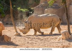 Portrait of a black (hooked-lipped) rhinoceros (Diceros bicornis), South Africa - stock photo