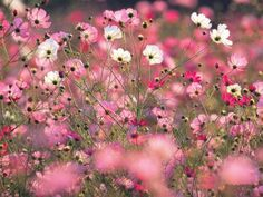 pretty pink cosmos