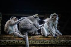 Do not visit the Ubud Monkey Forest in Bali without reading this survival guide! First hand tips to ensure you have a safe and perfect visit. Monkey Forest Bali, Great Places, Places To Go, Akhal Teke Horses, African Safari, Ubud, Countries Of The World, Wildlife Photography, Southeast Asia