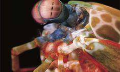 Extreme mobility of mantis shrimp eyes